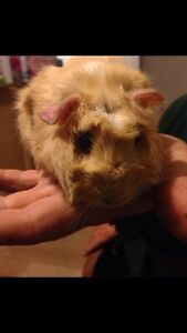 Young adorable guinea pig *Free to loving home