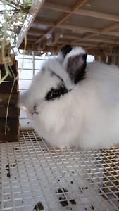 Lapin Rabbit - Lion head - Tête de lion