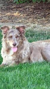 Red Merle male Australian Shepard