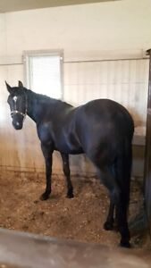 Black 3 year old registered filly