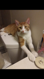 LOST 11 MONTH OLD CAT ( ORANGE AND WHITE)