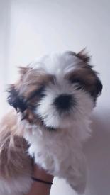 Shih tzu pup ( male )