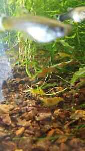 Yellow shrimp crevette
