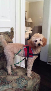 Sitter for Miniature Poodle