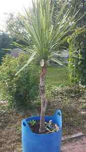 Baby Palm trees up for grabs.