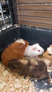 Guinea pigs babies