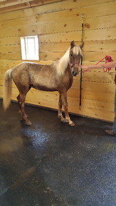 Reg. Rocky Mountain Horses For sale  SOLD