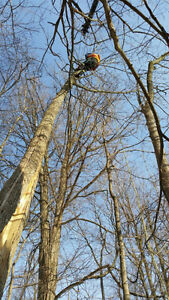 Tree removals, storm clean up , pruning, and felling of trees Cambridge Kitchener Area image 7