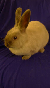Beautiful Adorable Pet Bunny Rabbit  for Sale