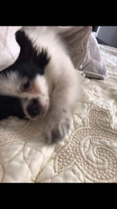 Sweet, affectionate Pomeranian (1 year old)