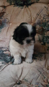 Shih tzu Female Puppy Family Raised  7 weeks old- Ready To View