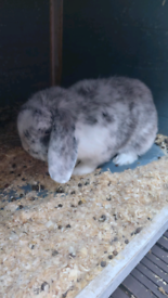 16 month male outdoor rabbit