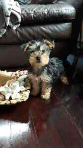 canadian kennel club registered yorkie pups