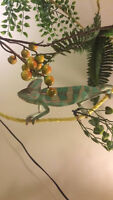 Looking to trade my veiled chameleon for a conure
