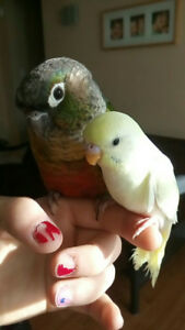 6 months old Conure with baby Budgie, cage and all accessories