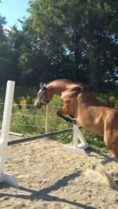 Horses Available for Coboarding Cambridge Kitchener Area image 4