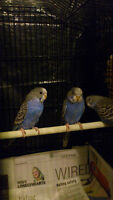 Blue Young Budgies