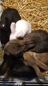 Bunnies for sale READY TO GO