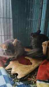 Breeding pair of chinchillas