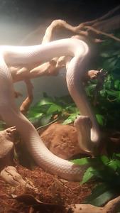 Leucistic Texas Rat Snake.  NEED GONE THIS WEEK