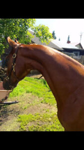 Sensible started three year old mare