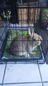 Brown Bunny for Sale