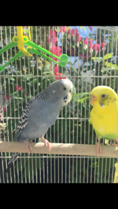 Pair of Budgies for Adoption