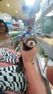 Ferret and accessories