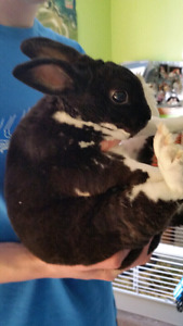 Mini Rex Rabbit for sale