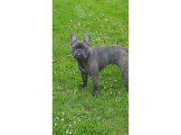 Blue french bulldog frenchie