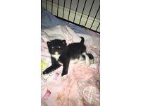 Cross breed Persian kitten - female