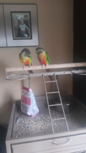 Two yellow sided conures