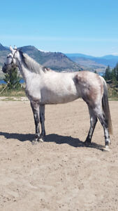 Lovely grey Canadian Warmblood mare