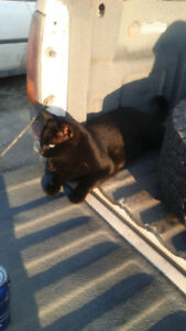 lost totally black cat- male-unfixed---dec 5 2017