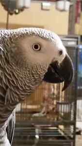 CONGO AFRICAN GREY PARROT WITH CAGE