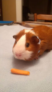 Purebred American Smooth Hair Guinea Pigs