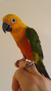 Beautiful 6 months old Jenday conure