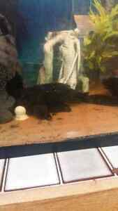 2 12 inch plecos need re home