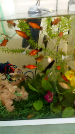 Guppy,platy,molly,shrimps,pleco,betta,pacu,cichlids kribensis/mida/ob