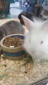 Dwarf Lion Head and Lop Eared bunnies!