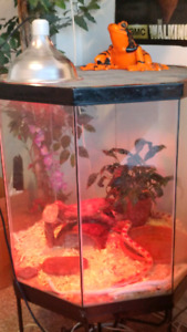 Corn snakes and habitat for sale
