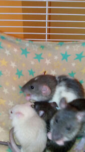 7 week old baby rats need good home.NOT SNAKE FOOD