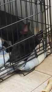 Lady Bull terrier x Bully Red Nose 5 Mois seulement femelle !