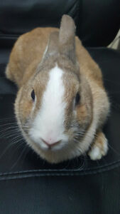 Looking for a Sweet & Soft Small  Bunny to Add to Your Family? Oakville / Halton Region Toronto (GTA) image 5