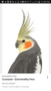 cockatiels or lovebirds