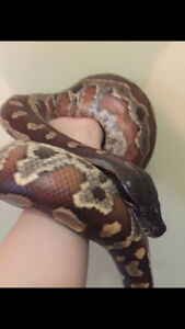adult male Red blood python