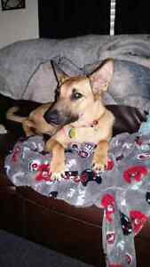 8 month puppy looking for a serious buyer and new home Kitchener / Waterloo Kitchener Area image 5