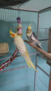 Pair if proven Lutino Cockatiels for sale