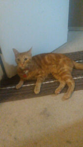 One & a half year old male cat looking for a new fur-ever home.