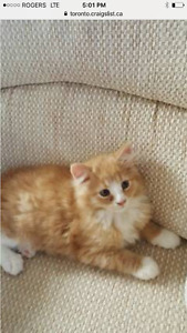 LOST ORANGE AND WHITE KITTEN
